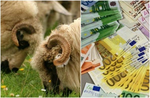 Cuantum mai mare subvenția APIA la ovine/caprine!