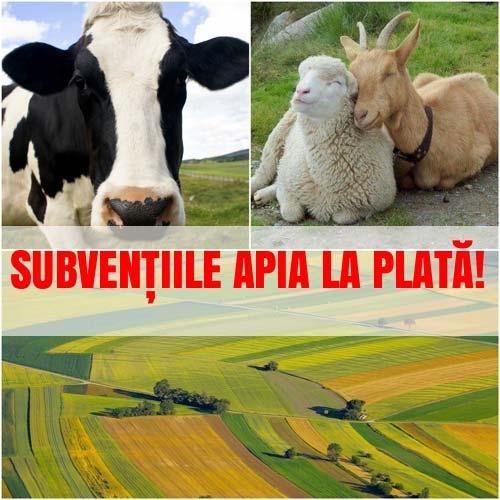 APIA OFICIAL! Sumele autorizate astăzi pentru transfer în conturile fermierilor, crescătorilor!